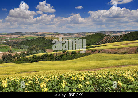 Typical Landscape With White Farmhouse Sunflowers And Olive Groves Near Arcos De La Frontera Andalucía Spain - Stock Photo