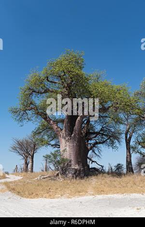 Baines baobab from Nxai Pan National Park, Botswana. - Stock Photo