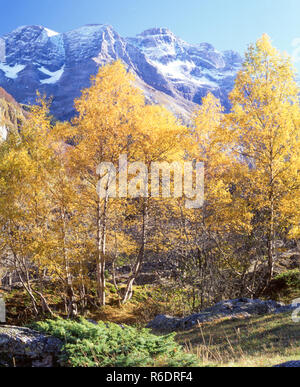 France.Silver Birch (Betula pendula) trees in autumn colors in the Pyrenees mountains near the Cirque de Gavarnie. - Stock Photo