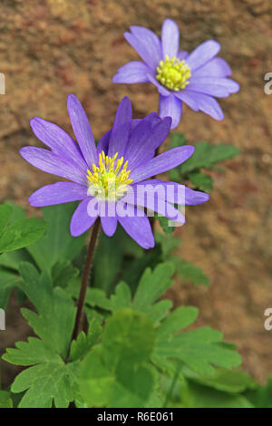 flowering balkan windflower anemone blanda - Stock Photo