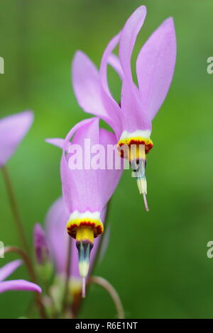 Dodecatheon pulchellum. Dark throat shooting star in flower. Also called Pretty shooting star and Prairie shooting star. - Stock Photo