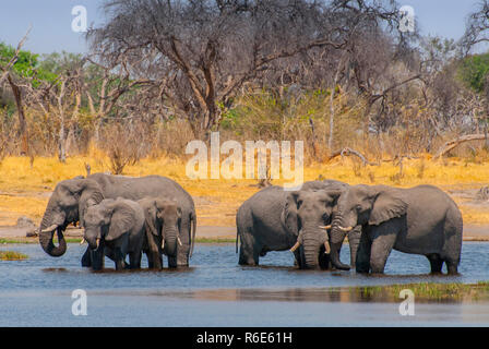 Herd Of African Bush Elephants Drinking Water From The Okavango River, Botswana - Stock Photo