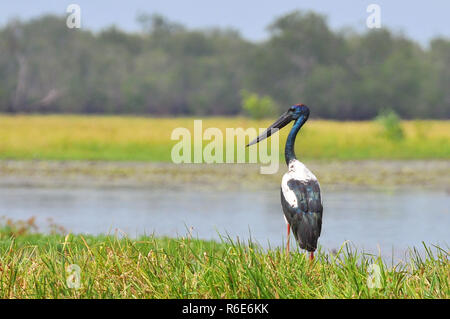 The Black-Necked Stork (Ephippiorhynchus Asiaticus) Is A Tall Long-Necked Wading Bird In The Stork Family, Kakadu National Park Australia - Stock Photo