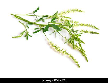 Melilotus, known as melilot, sweet clover, and kumoniga. Isolated on white background. - Stock Photo