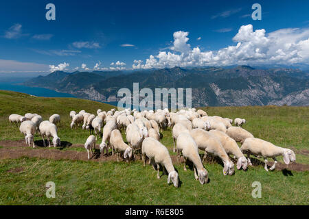 Sheep Herd With Shepherd Grazing On The Plateau Of The Monte Baldo, Malcesine, Lombardy, Italy - Stock Photo