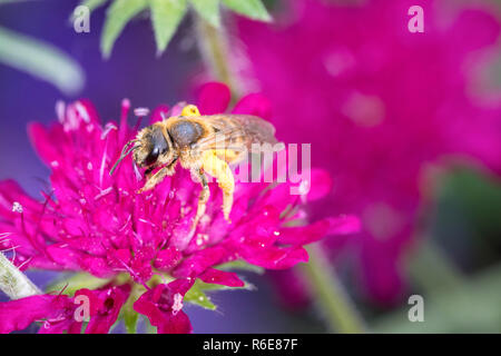Bee Pollinates A Flower - Stock Photo