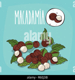 Set of isolated plant Macadamia nuts herb - Stock Photo