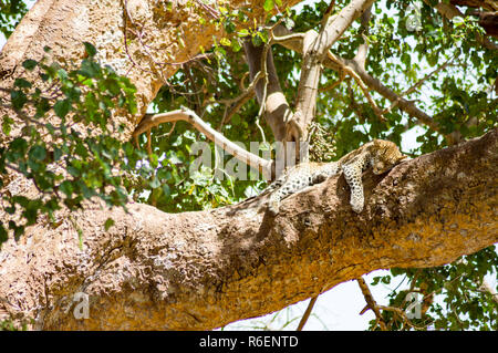 Leopard lying on a branch with two paws hanging in the savannah of Maasai Mara Park in North West Kenya - Stock Photo