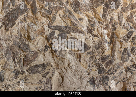 Imprint of fossil prehistoric plant foliage on stone - Stock Photo
