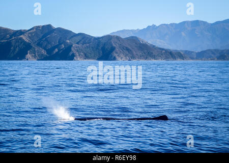Whale in Kaikoura bay, New Zealand - Stock Photo