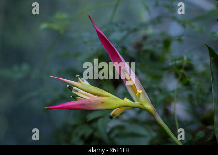 Yellow pink flowers of ornamental plant Heliconia hawaii in the green house of the botanical garden in Belgrade, Serbia - Stock Photo