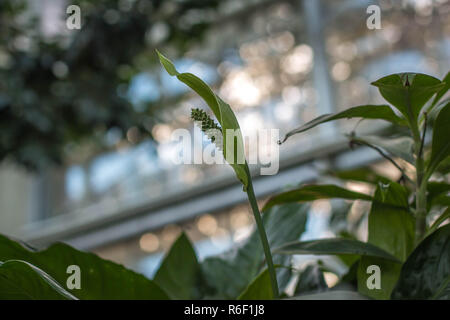 Single green flower of Spathiphyllum floribundum in the green house - Stock Photo