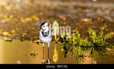 Pied (white) wagtail, in the puddle. - Stock Photo