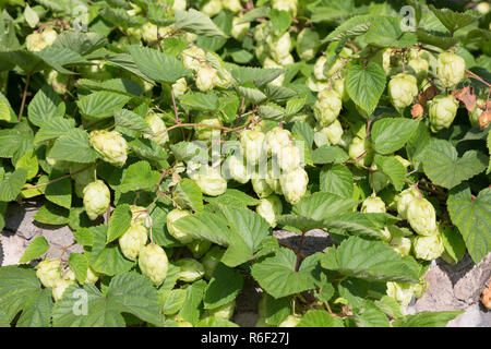 Fresh green hops cones for making beer and bread - Stock Photo