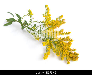 Solidago, commonly called goldenrods. Isolated. - Stock Photo