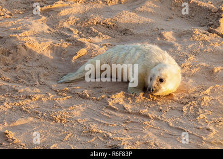 Baby newborn seal pup on the beach - Stock Photo
