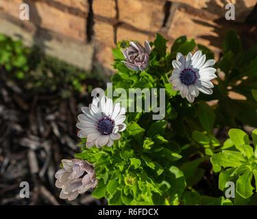 A blue-eyed African Daisy, Osteospermum, in a flower bed. Kansas, USA - Stock Photo