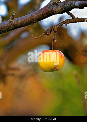 Last apple on the tree lone red and yellow apple - Stock Photo