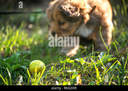 Little, lovely, fluffy, cute brown puppy playing outdoors with owner, obediently walking the first steps. Happy dog in the park or garden. Concept of - Stock Photo