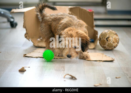 Naughty dog left home alone, sitting in the middle of mess on the floor. Disobedient dog with bad behavior. Puppy chews everything while teeth are gro - Stock Photo