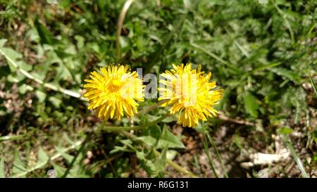 Two dandelions , dandelion . - Stock Photo