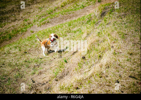 Young pet dog breeds beagle walking in park outdoors - Stock Photo
