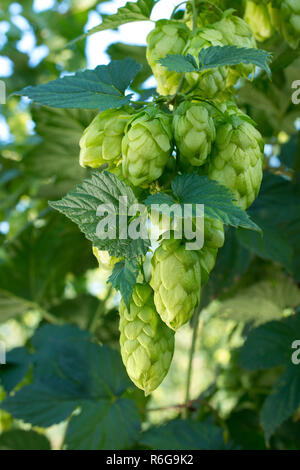 Detail of hop cones in the hop field before harvest - Stock Photo