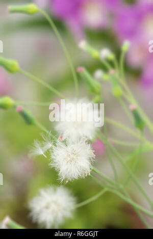Cupid's shaving brush plant with white seed heads blowing away - Stock Photo
