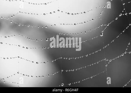 macro photo water drops on the web, selective focus, black white photo - Stock Photo
