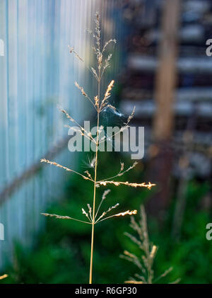 wild grass against the fence in summer, Russia - Stock Photo