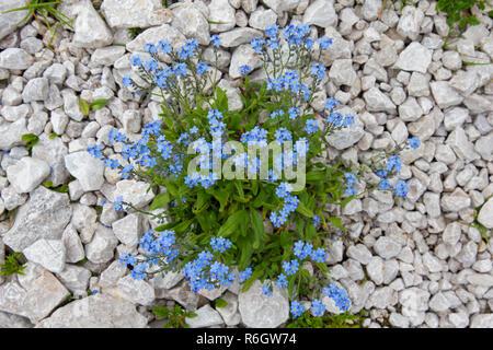 Alpine forget-me-not (Myosotis alpestris) in flower in summer - Stock Photo