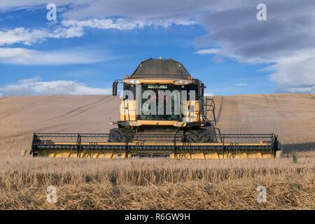 Combine harvester / combine harvesting grain crop in summer - Stock Photo