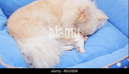 Pomeranian Dog lying on bed - Stock Photo