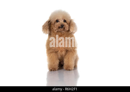 portrait of miniature poodle dog isolated on white background - Stock Photo