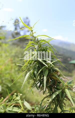 Cannabis grows wild in many parts of Himachal Pradesh, India - Stock Photo