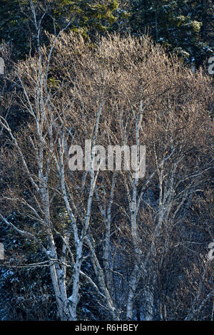 Ice-coated trees after an ice storm in late autumn, Greater Sudbury, Ontario, Canada - Stock Photo
