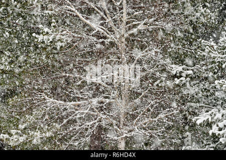 Snow-covered tree branches after a late autumn snowstorm, Greater Sudbury, Ontario, Canada - Stock Photo