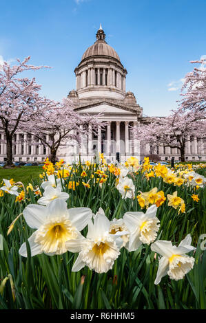 State Capitol Legislative Building with blooming daffodils and cherry trees in Olympia, Washington. - Stock Photo