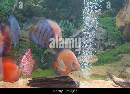 symphysodon diskus fishes aquarium - Stock Photo