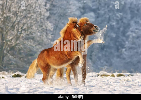 Two Icelandic horses, a foal and its mommy playing snowball fight in a snowy winter landscape, Germany - Stock Photo