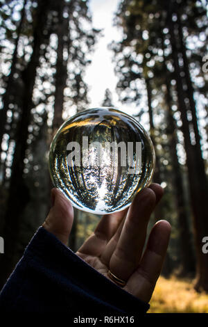 Forest grove of pine and giant sequoia redwood trees at twilight captured in glass ball reflection held in fingertips.  California Sierra Nevada Mtns - Stock Photo