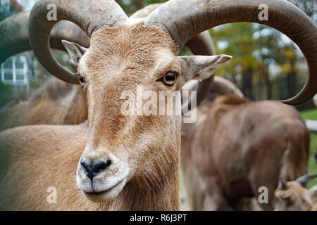 Mountain goat with horns close up macro animal portrait photo - Stock Photo