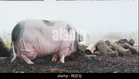 Pig in farm - Stock Photo