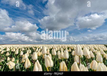 Stock photo flowers bulb fields in the Dutch landscape. Beautifully colored tulips in the far-reaching lowlands of the Netherlands. The most famous ex - Stock Photo