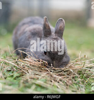 A grey dwarf rabbit searching for food in the meadow - Stock Photo