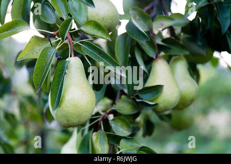 ripening pears (species of genus Pyrus  in the family Rosaceae, bearing the pomaceous fruit) - Stock Photo
