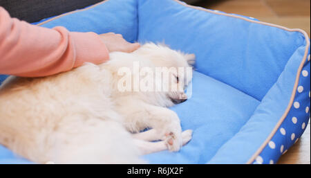 Pomeranian Dog lying on bed with pet owner massaging - Stock Photo