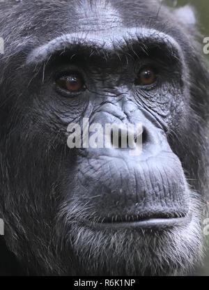 Portrait of an sdult  male Common chimpanzee (Pan troglodytes).   Kibale Forest National Park, Uganda. - Stock Photo