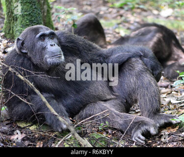 A dominant male Common chimpanzee (Pan troglodytes) relaxes after a morning's foraging.  Kibale Forest National Park, Uganda. - Stock Photo