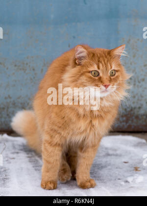 big red fluffy cat sits and freezes in the middle of the snow on the street - Stock Photo
